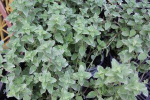 Plantas y hierbas curativas como prepararlas para sacar el mayor provecho
